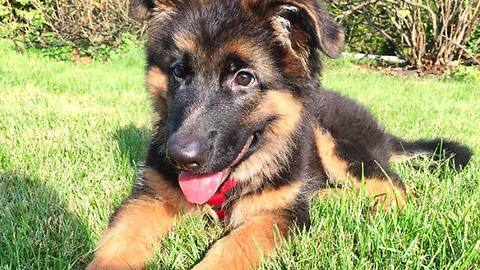 German Shepherd puppy runs in slow motion