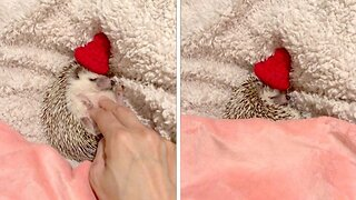 Sleepy hedgehog gets tucked in for bedtime