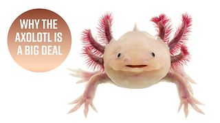 3 reasons you need to pay attention to the Axolotl - Video