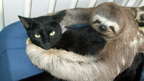 Sloth Shows Its Love for Cat Pal