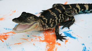 Painting With Alligators - Video