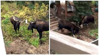 Epic moose fight dangerously close to home
