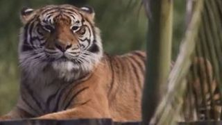 Treasured Tigers Moving to Tasmania From Symbio Wildlife Park - Video