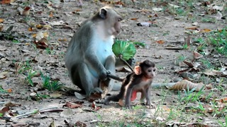 Poor Baby Monkey Kidnapper Never Leaf Him Happy