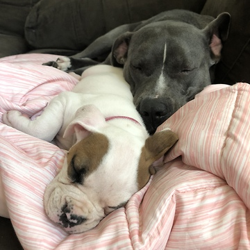 Little girl preciously naps with four sleeping doggies