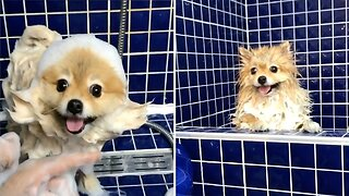 POMERANIAN TRIES ON HILARIOUS NEW LOOKS DURING SHOWER TIME