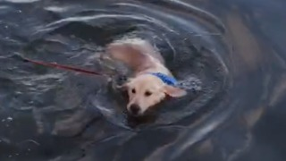 Adorable golden retriever puppy discovers she can swim! - Video