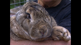 Ralph... The 42-Pound Rabbit - Video