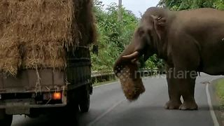 Elephant Halts Truck To Steal And Munch On Bale Of Hay - Video