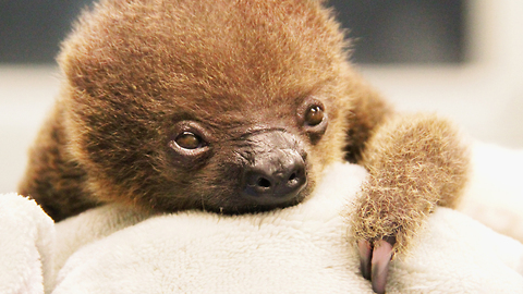 Two-Toed Sloth Born at Memphis Zoo: ZooBorns