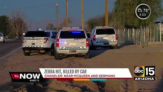 Zebra hit, killed by car in Chandler - Video