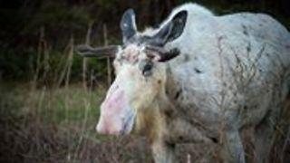 Rare Piebald Moose Spotted in Newfoundland - Video