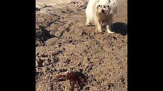 Curious pup can't stop barking at crab on the beach