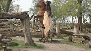 Epic power meeting between two wild Konik horses