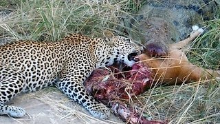 Crocodile Vs. Leopard: Fight For Impala - Video