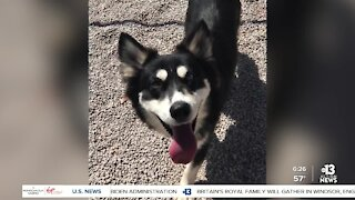Pet of the week: young Husky mix looking for forever home