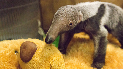 Baby Giant Anteater Loves Her Teddy Bear: ZooBorns