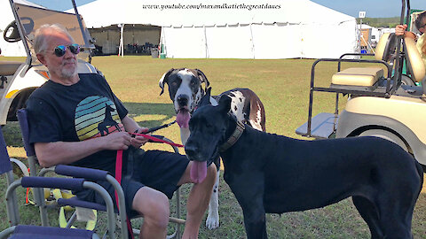 Great Danes Enjoy Being Watch Dogs At Florida Cluster Dog Show