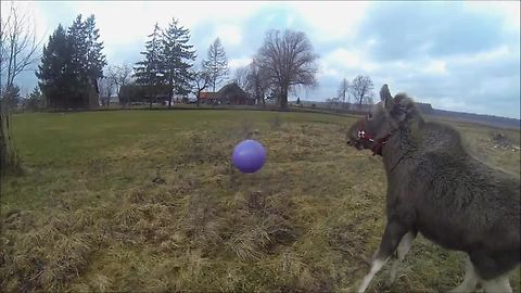Moose Calf Plays With Giant Toy Ball