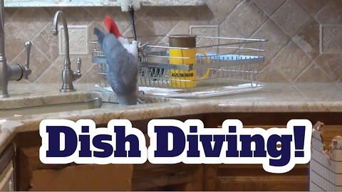 Einstein the Parrot goes dish diving in kitchen sink