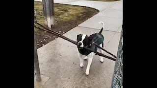 Dog carrying a giant stick knows that where there's a will there's a way