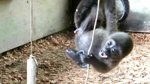 Baby monkey rescued from black market plays for the first time