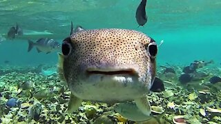 Adorable puffer fish in can't resist this swimmer's camera