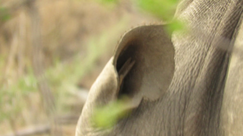 Bird completely disappears inside rhino's ear