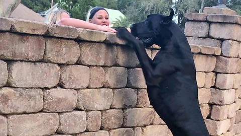 Funny Great Dane Checks Out The Neighbors