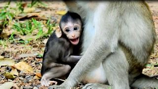 Bad Adult Kidnapper Never Pitiful Baby Monkey Cry