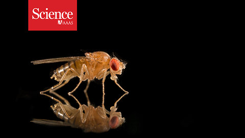 Even fruit flies succumb to cultural dating pressures