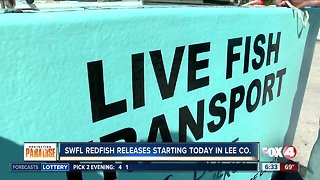Red tide recovery: Redfish release in Southwest Florida