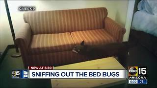 Dog companies stepping up to sniff out bed bugs around the Valley - Video