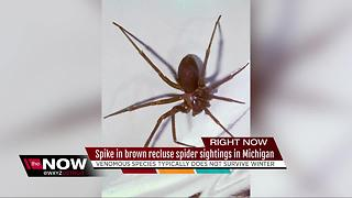 Spike in Brown Recluse Spider sightings in Michigan - Video