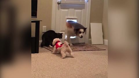 Little Dog Tries To Scare A Cat