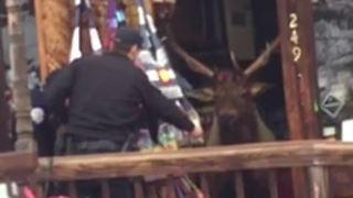 Police Use Apples to Lure Elk From Colorado Gift Store - Video
