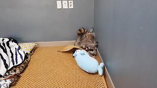 Goofy raccoon decides to sleep upside down - Video