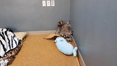 Goofy raccoon decides to sleep upside down