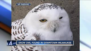 Snowy owl found in We Energies' downtown parking lot - Video