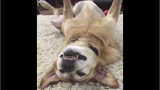 Senior Labrador knows how to relax in style