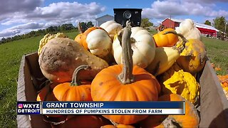 Nearly 400 pumpkins carefully stolen from McCallum's Orchard in Grant Township