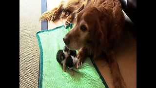 Dog Adopts Kittens