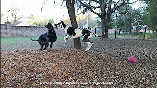 Funny Great Danes Look and Sound Ferocious When They Play