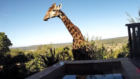 Giraffe Caught On Camera Drinking From Swimming Pool