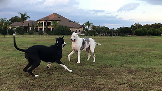 Senior Great Dane Siblings Wrestle Together  - Video