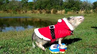 Pig dressed as Santa plays piano - Video
