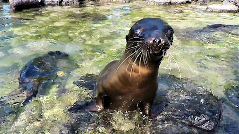 Baby sea lions playing in a tidal pool will warm your heart!