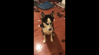 Hilarious Guilty Husky Won't Let His Owner Scold Him  - Video
