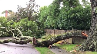 Storm downs huge branch from 300-year-old oak tree on Long Island - Video