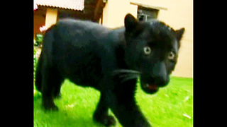 Baby Black Panthers